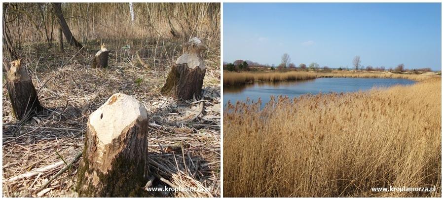 Rezerwat Mewia Łacha Gdańsk Świbno Sobieszewo bobrowe jeziorko 2