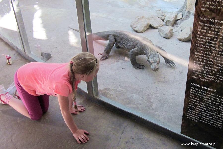 Stare Zoo wPoznaniu - waran zKomodo