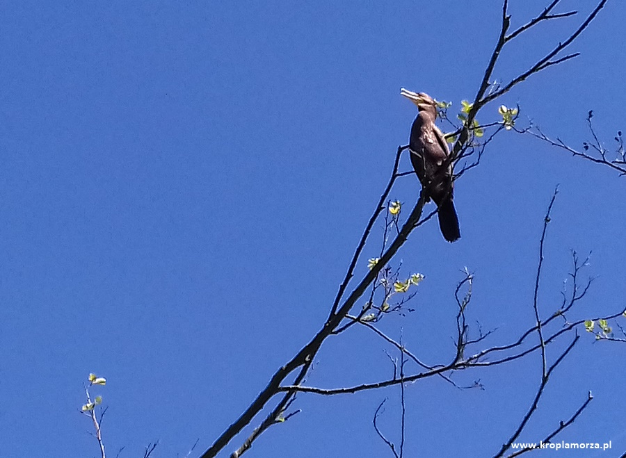 wda-kormoran-czarny