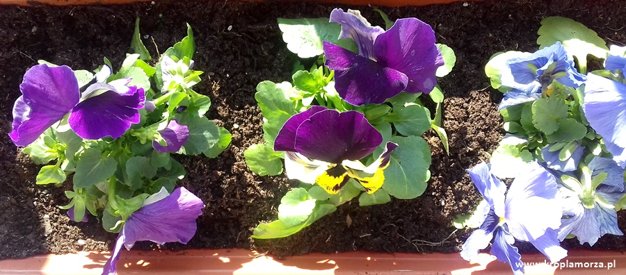 plany-na-wiosne-bratki-balkon