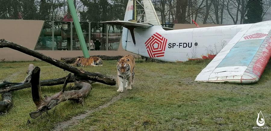 tygrysy-zoo-lodz