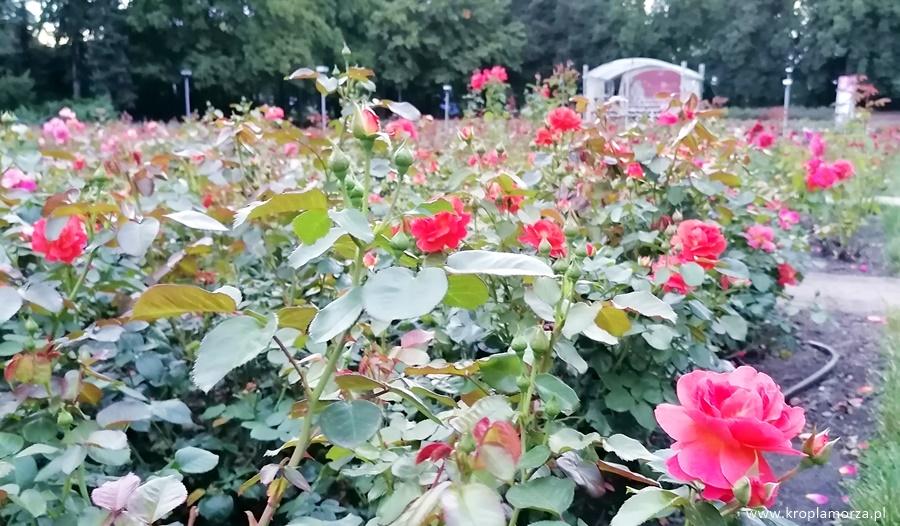 Różanka Szczecin naweekend